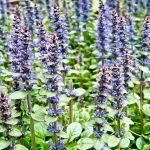 Rows of purple plants in a garden on Vashon Island Washington